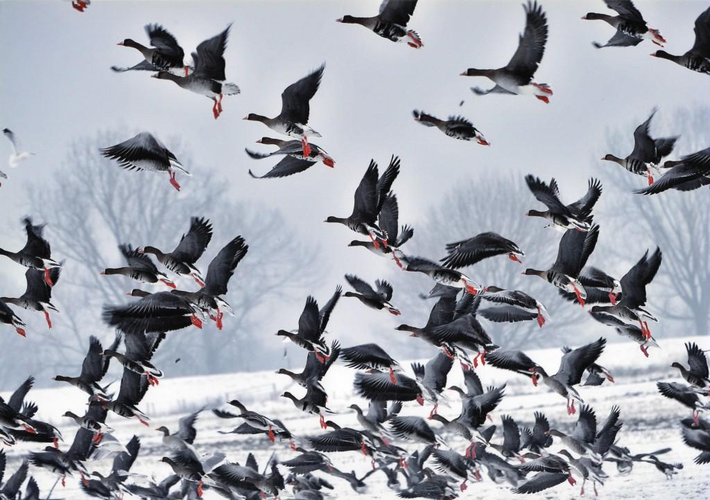 """Theo Peters """"vliegende kolganzen in een weiland in Overasselt"""""""